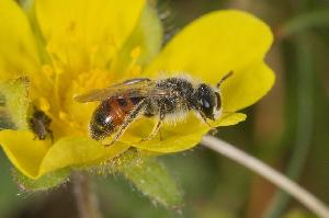 Andrena Potentillae1