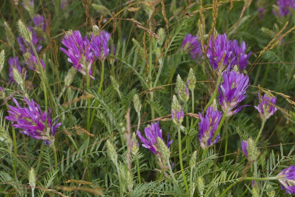 Astragalus Onobrychis1a