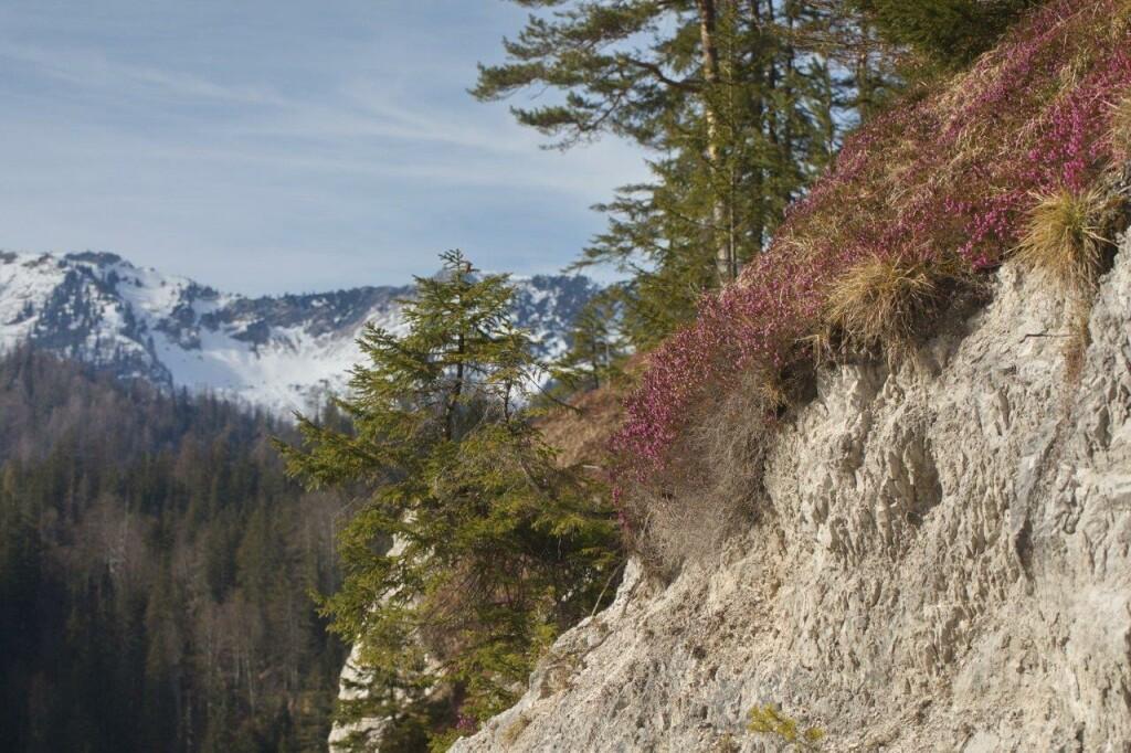 Wildalpen Habitat Heidehummel