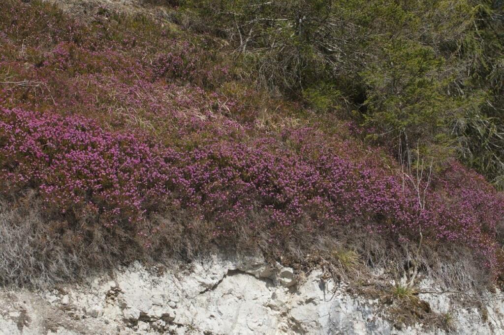 Habitat Heidehummel in Wildalpen